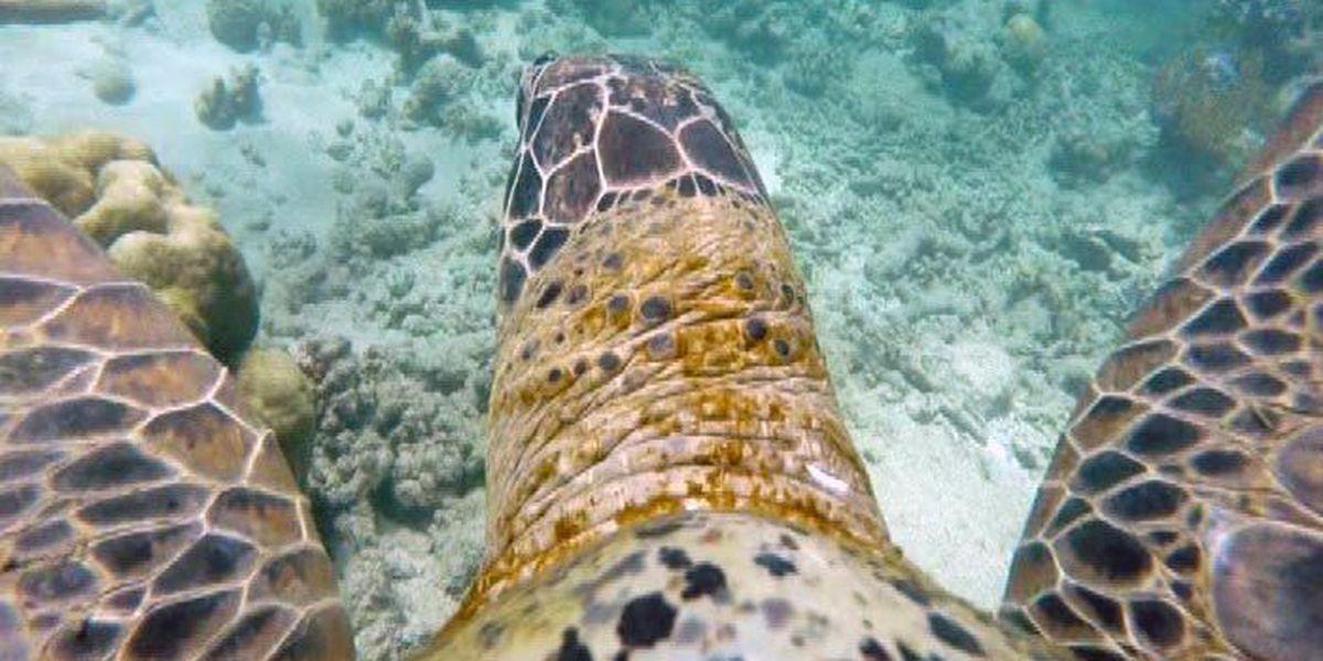 Video: Sea turtle films great Barrier Reef