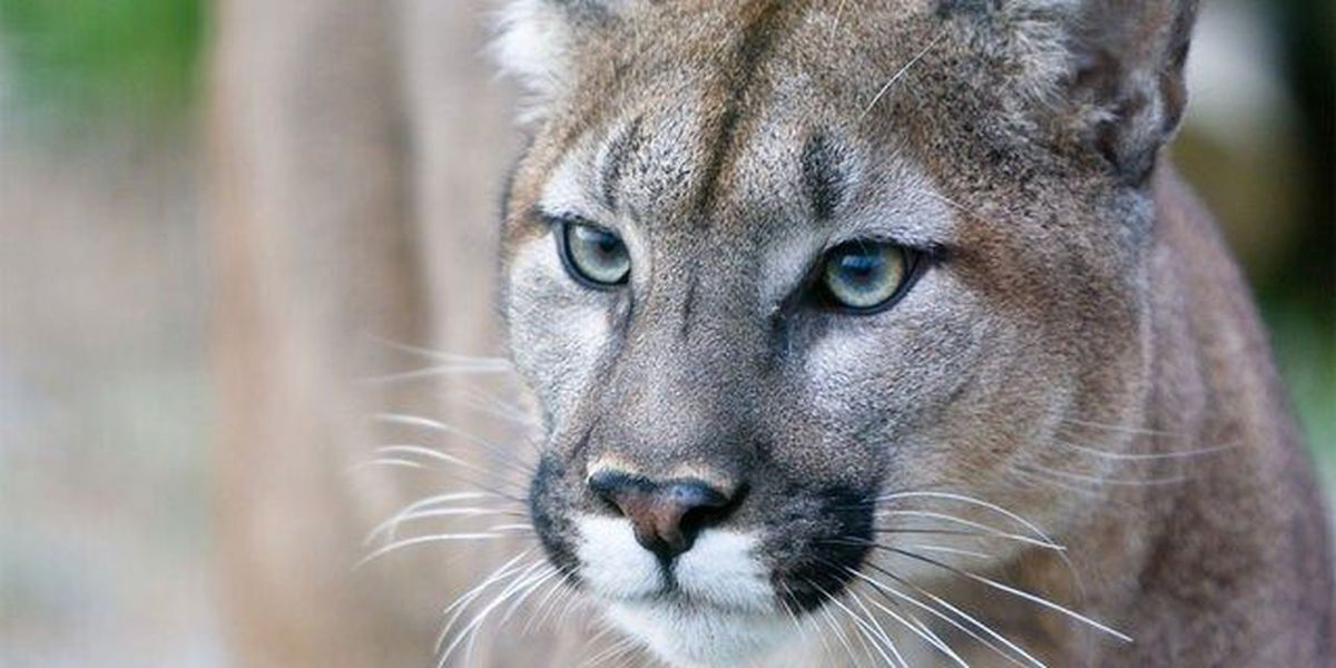 Panther killed in southwest Florida
