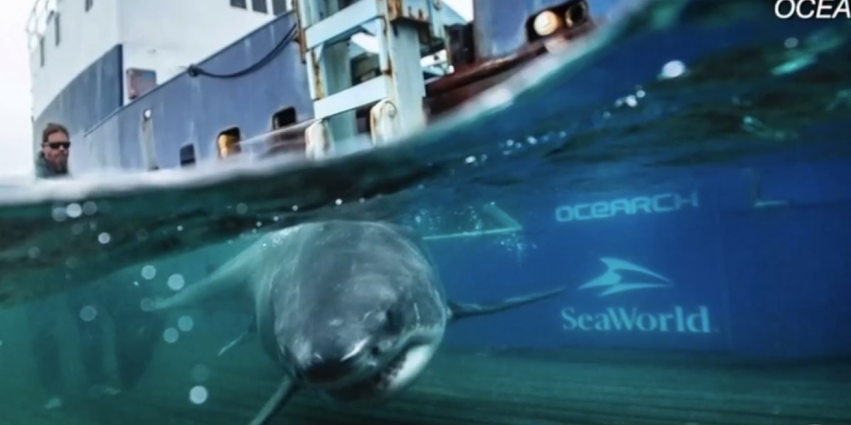 Great white sharks heading to South Florida