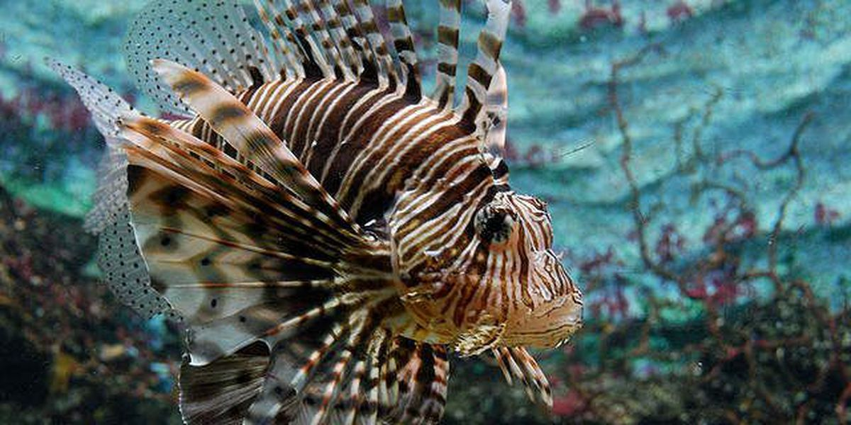 FWC could offer more incentives to fishermen who catch lionfish; prizes, extra lobster, scallops