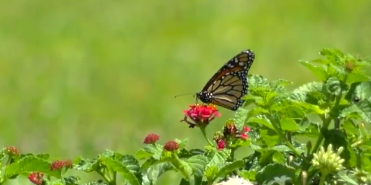 Golf courses dedicate space to saving monarch butterflies