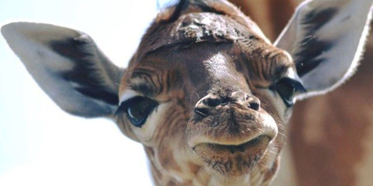 Lion County Safari welcomes new baby giraffe