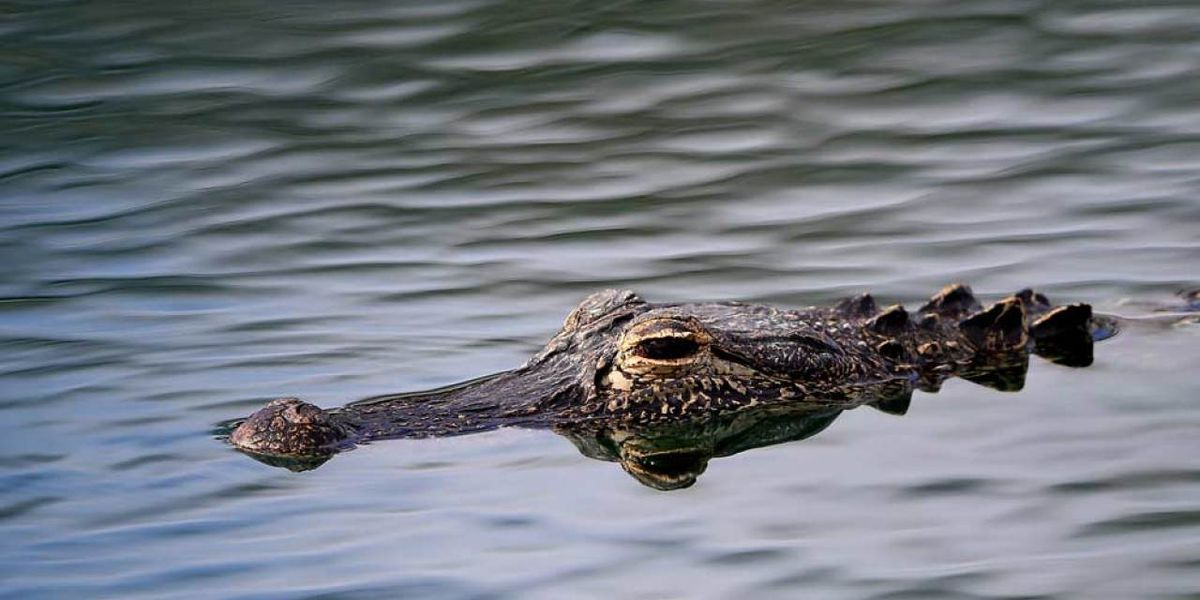 Nuisance alligators: Here's what to do if you encounter one in your neighborhood