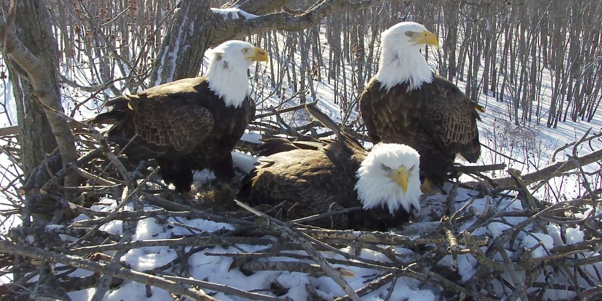 Modern family: Eagles' nest has 2 dads, 1 mom and 3 eaglets