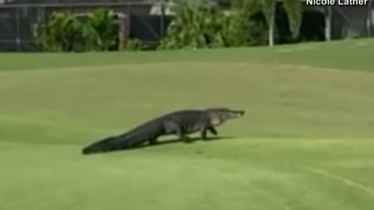VIDEO: Large alligator takes stroll on Florida golf course