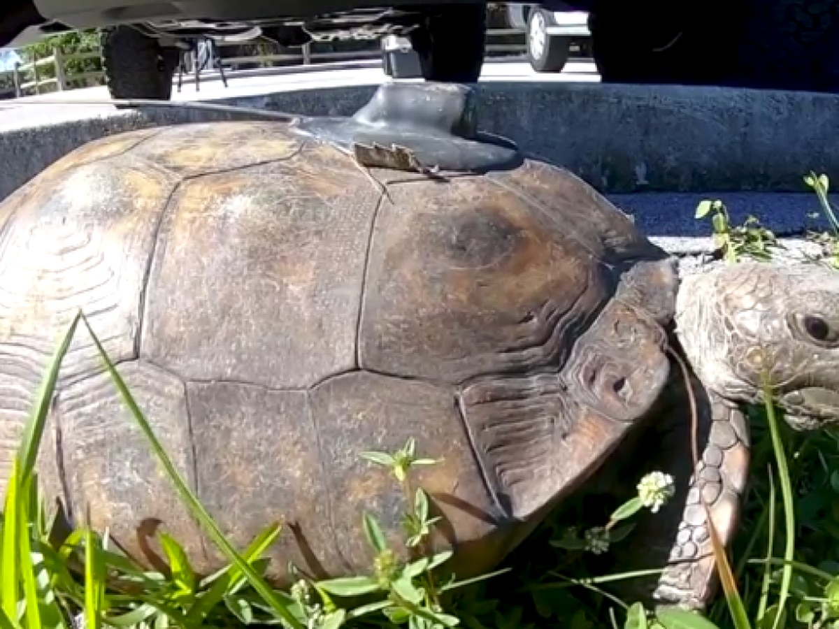 Winding Waters in PBC becomes haven for homeless gopher tortoises