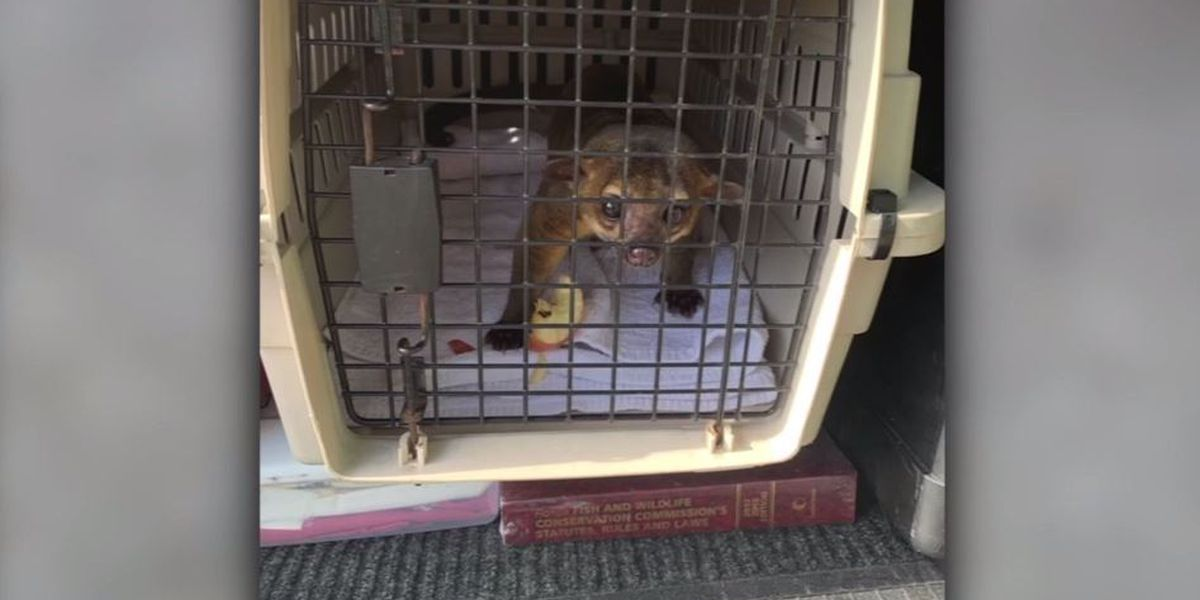 Florida man bitten, scratched by kinkajou before he traps it in bathroom