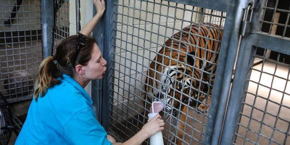 New timeline details in fatal zoo tiger attack