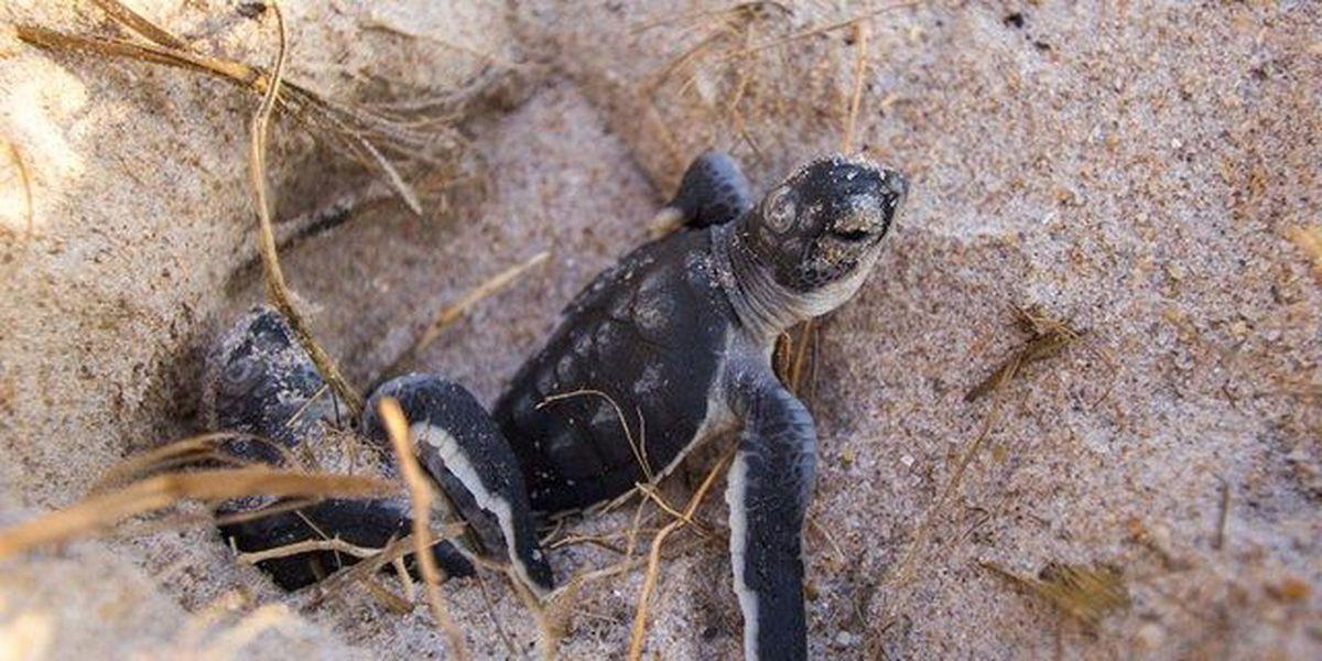 PBC sees decrease in turtle hatchings