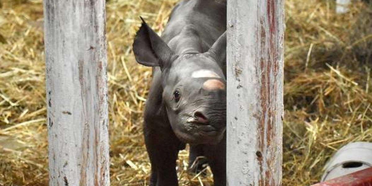 Black rhino calf born at zoo in Michigan
